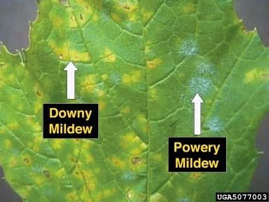 downy-mildew